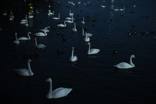 白鳥の湖_d0020296_23744100.jpg