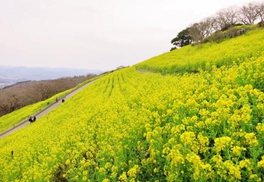 菜の花畑・マザー牧場_b0083801_01463426.jpg