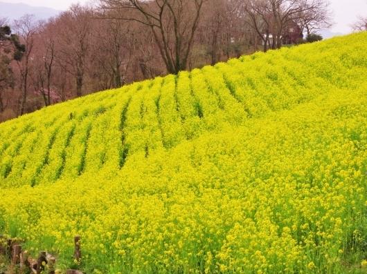 菜の花畑・マザー牧場_b0083801_01540187.jpg