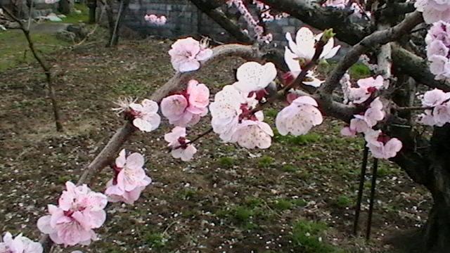 花が満開です  まだ桃の花じゃないらしい_f0325525_22375023.jpg