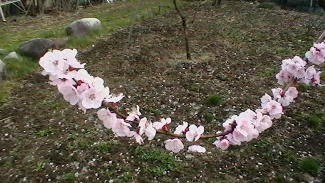 花が満開です  まだ桃の花じゃないらしい_f0325525_22384351.jpg