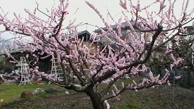 花が満開です  まだ桃の花じゃないらしい_f0325525_22392440.jpg
