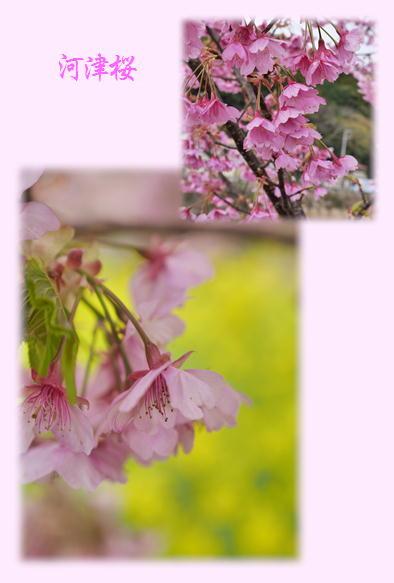 伊豆河津桜祭り続き~_f0292335_19394284.jpg