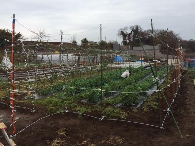 蚕豆防鳥ネット完成   畝の雑草取りと葉物野菜の収穫_c0222448_16235321.jpg