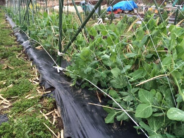 蚕豆防鳥ネット完成   畝の雑草取りと葉物野菜の収穫_c0222448_16251781.jpg