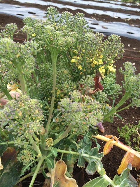 蚕豆防鳥ネット完成   畝の雑草取りと葉物野菜の収穫_c0222448_16252960.jpg