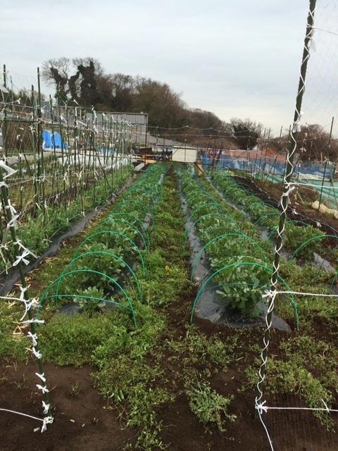 蚕豆防鳥ネット完成   畝の雑草取りと葉物野菜の収穫_c0222448_16255386.jpg