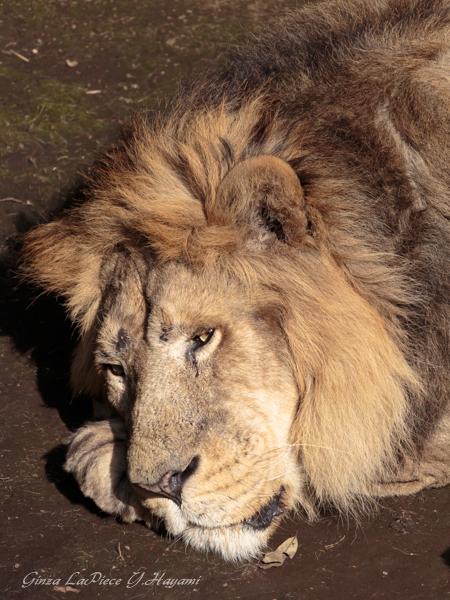 動物のいる風景 上野動物園 おねむのライオン_b0133053_023215.jpg