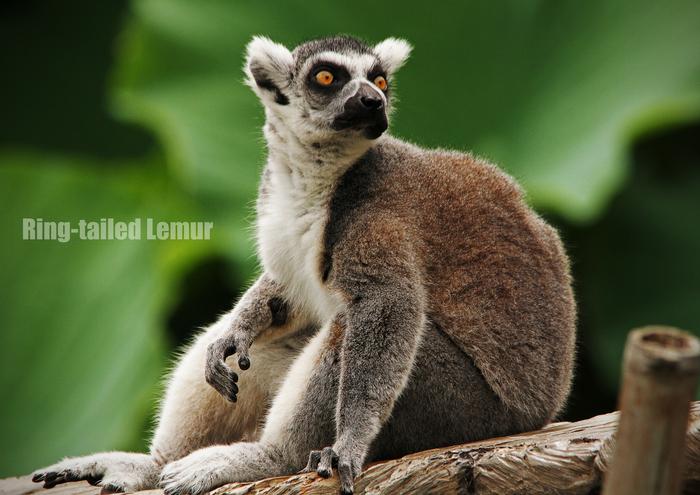 ワオキツネザル:Ring-tailed Lemur_b0249597_11355825.jpg