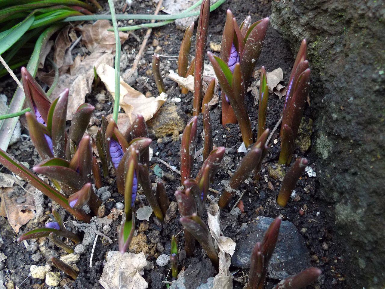 雪解けは早くても植物ごよみは粛々と例年通りに進行中_c0025115_21213572.jpg