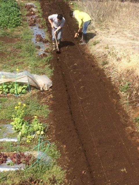 蚕豆の倒れ防止紐を付け インカの目覚めの畝作り 開始しました_c0222448_16063890.jpg