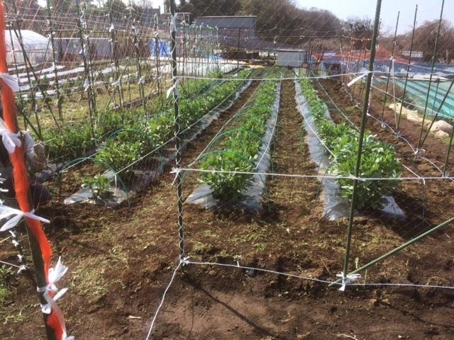 蚕豆の倒れ防止紐を付け インカの目覚めの畝作り 開始しました_c0222448_16072670.jpg