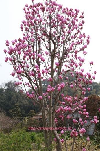 Magnolia・・・ピンクもくれん_a0333661_20563755.jpg