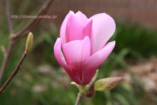 Magnolia・・・ピンクもくれん_a0333661_20571926.jpg