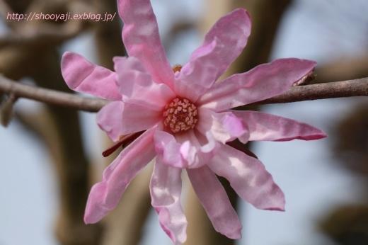 Magnolia・・・ピンクもくれん_a0333661_20574339.jpg
