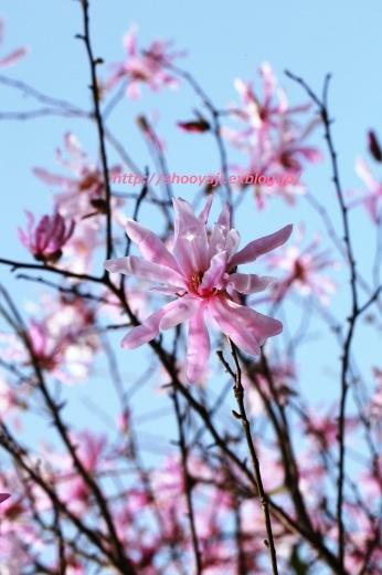 Magnolia・・・ピンクもくれん_a0333661_20575705.jpg