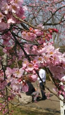 これも桜?_b0274382_14143967.jpg