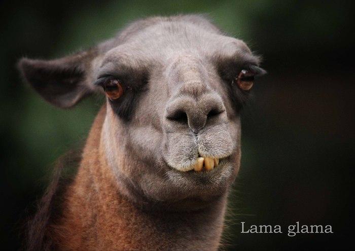 ラマ:Lama glama_b0249597_710235.jpg