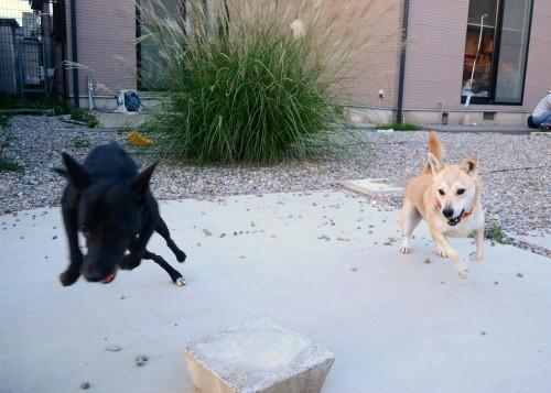 ポプラ そして ホスト犬の宿命_b0207320_13033815.jpg