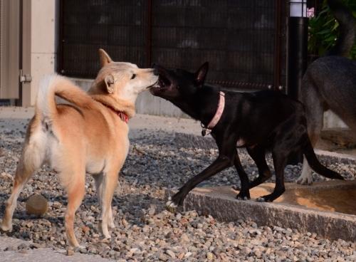 ポプラ そして ホスト犬の宿命_b0207320_13042285.jpg