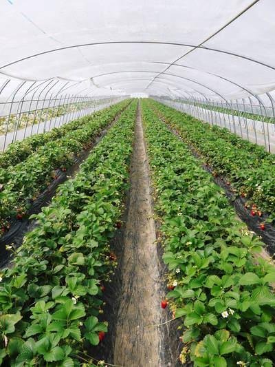完熟紅ほっぺ 美味さを求めた完熟イチゴと安全を追求した減農薬へのこだわり_a0254656_19182921.jpg