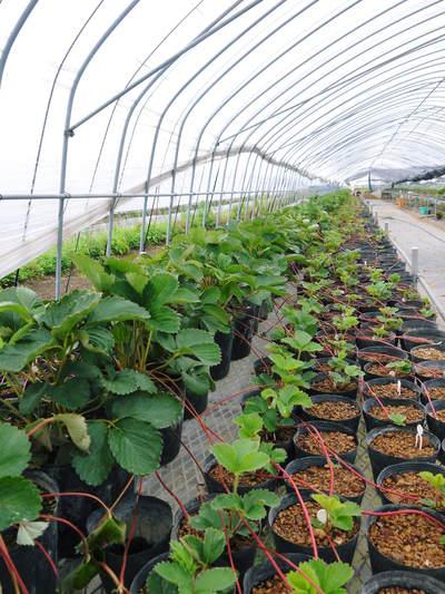 完熟紅ほっぺ 美味さを求めた完熟イチゴと安全を追求した減農薬へのこだわり_a0254656_19305732.jpg