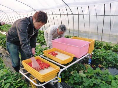 完熟紅ほっぺ 美味さを求めた完熟イチゴと安全を追求した減農薬へのこだわり_a0254656_19573033.jpg