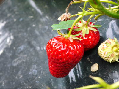 完熟紅ほっぺ 美味さを求めた完熟イチゴと安全を追求した減農薬へのこだわり_a0254656_1974020.jpg