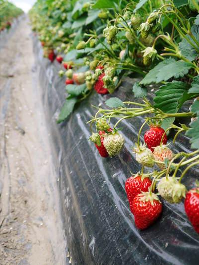 完熟紅ほっぺ 美味さを求めた完熟イチゴと安全を追求した減農薬へのこだわり_a0254656_20105715.jpg