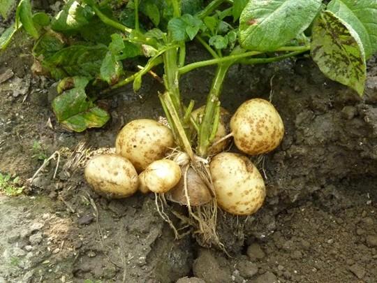 さつまいもの葉や茎に含まれる栄養や食べ方!栽培中に枯れる原因は? | トレンド豆知識