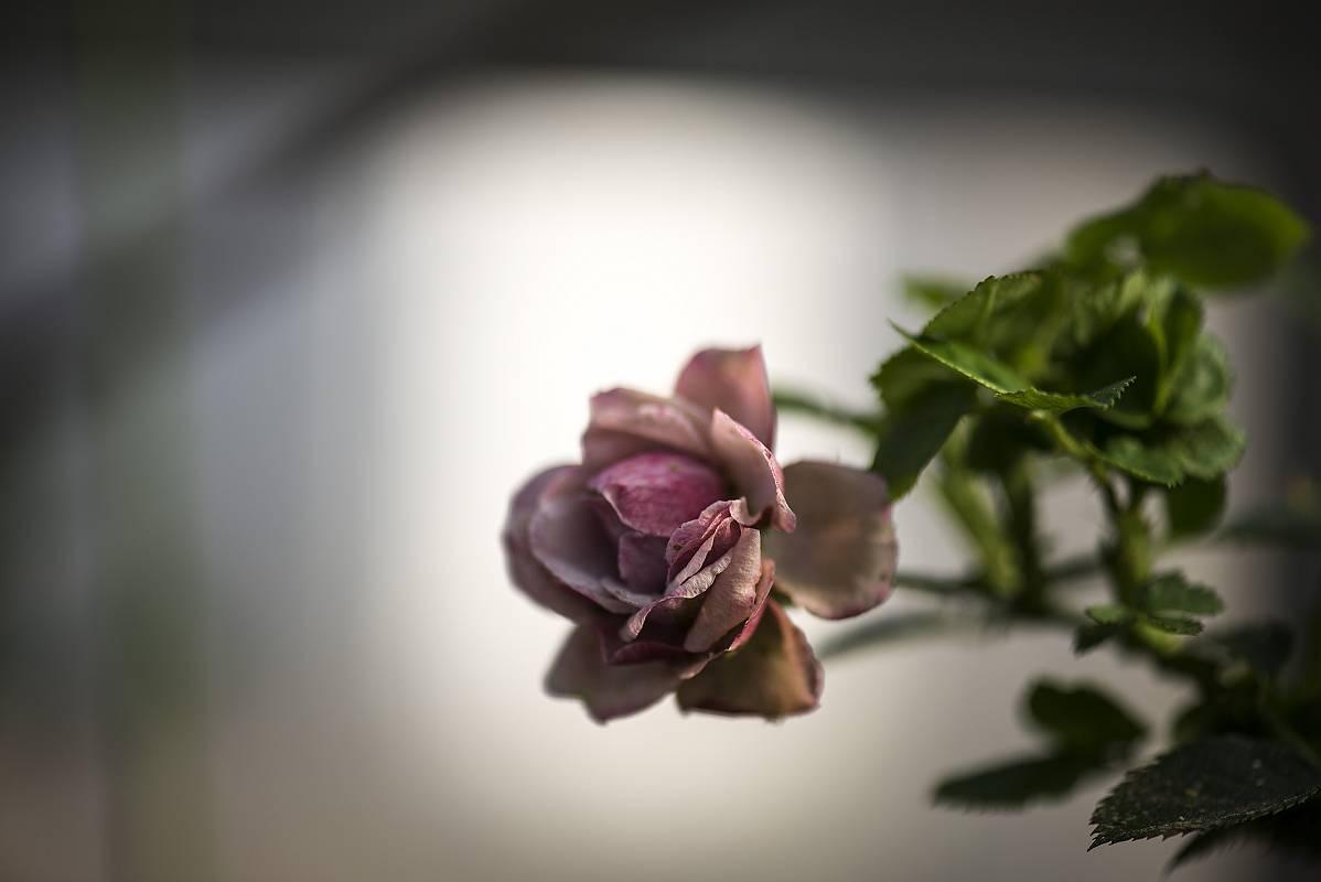 冬薔薇(ふゆそうび)_e0271864_741989.jpg