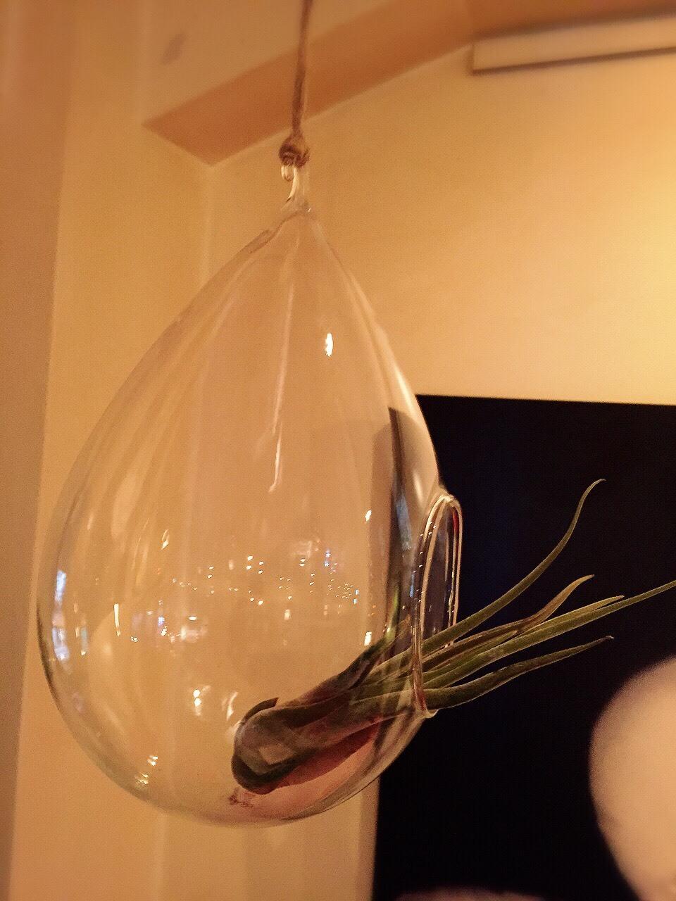 カプト メデュエサ &  Hanging Bubble Terrarium Teardr_e0115904_10474811.jpg