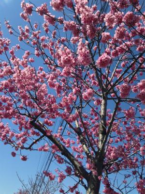 ✩桜・さくら・SAKURA✩_a0253729_124427.jpg