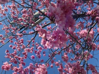 ✩桜・さくら・SAKURA✩_a0253729_125952.jpg