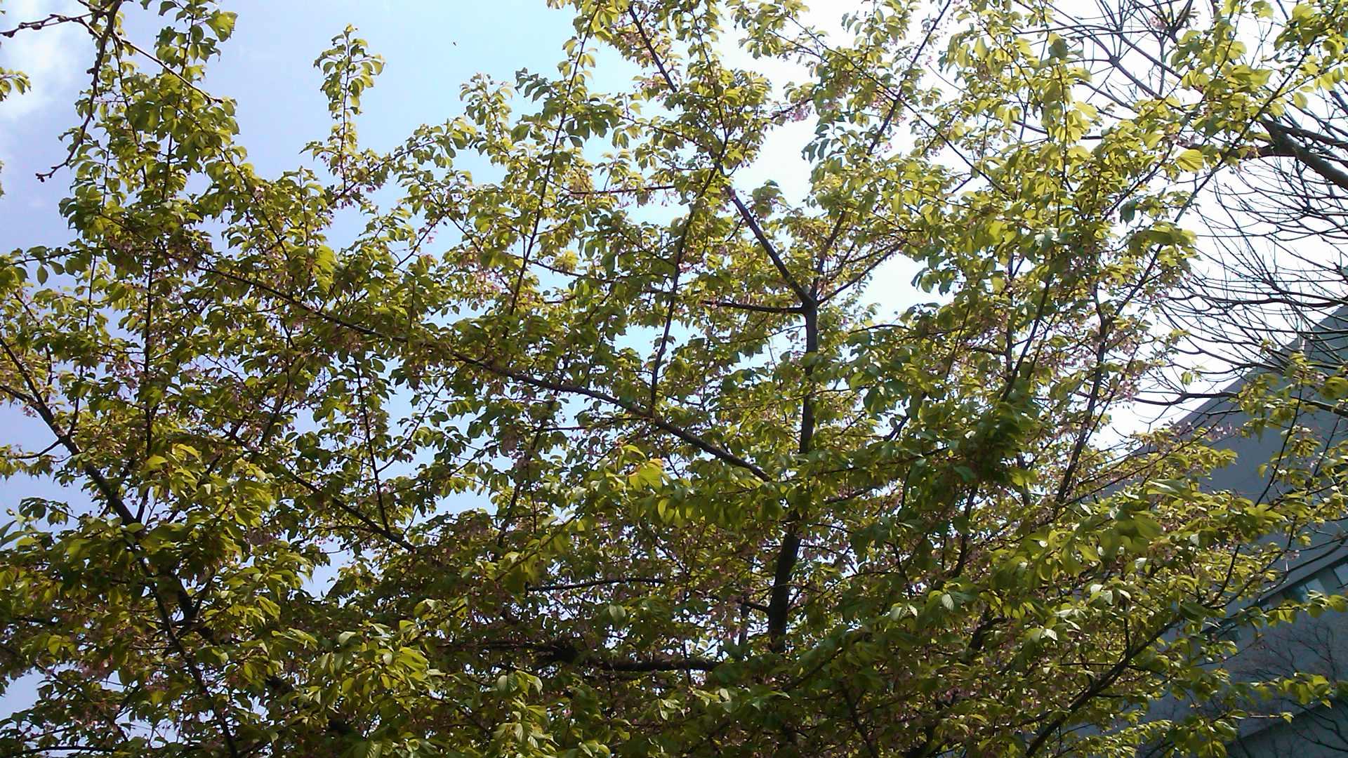 桜に負けずに..、豆も開花宣言.._b0137932_10471664.jpg