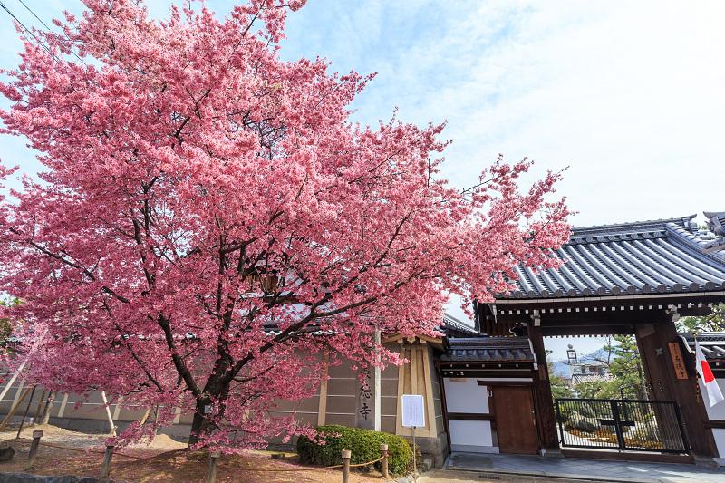 おかめ桜咲く(長徳寺)_f0155048_2237981.jpg