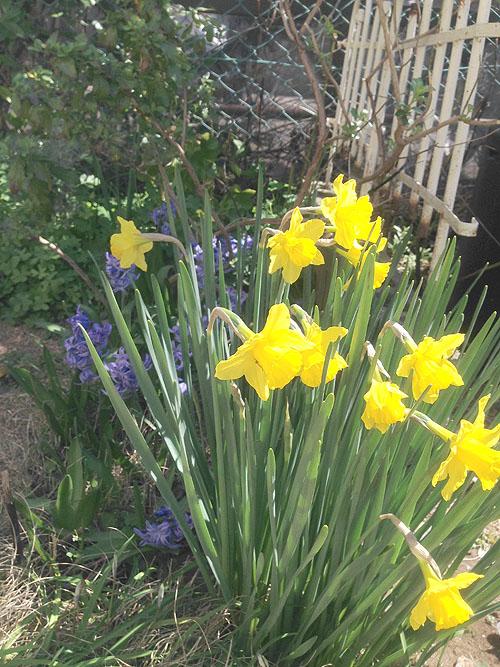 3月24日の庭。春だね_e0026053_1119542.jpg