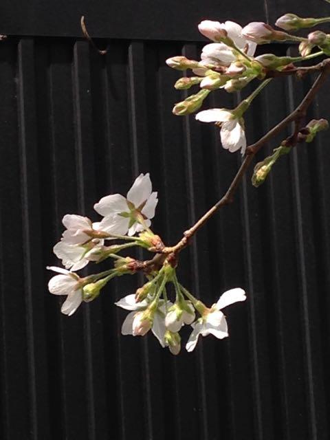 2015.3.24   花を求めて、お散歩_a0083571_1326156.jpg