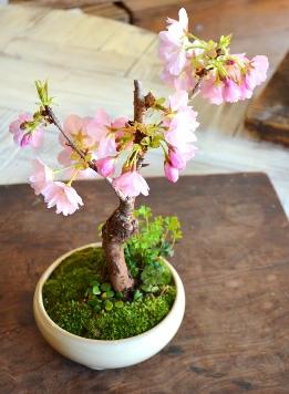 桜盆栽教室2回目ありがとうございました_d0263815_1757343.jpg
