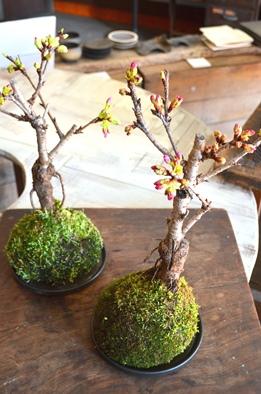 桜盆栽教室2回目ありがとうございました_d0263815_18182958.jpg