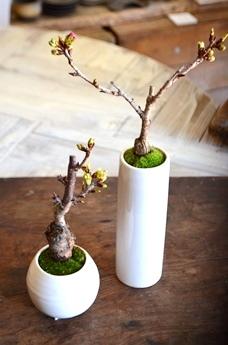 桜盆栽教室2回目ありがとうございました_d0263815_18212423.jpg