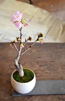 桜盆栽教室2回目ありがとうございました_d0263815_18234055.jpg