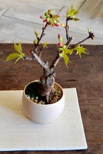 桜盆栽教室2回目ありがとうございました_d0263815_18292233.jpg