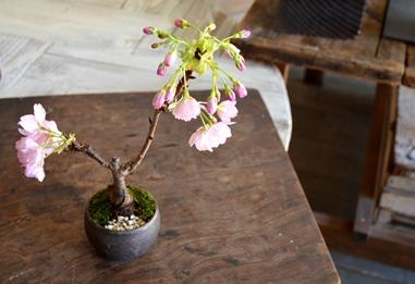 桜盆栽教室2回目ありがとうございました_d0263815_18305383.jpg