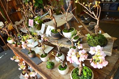 桜盆栽教室2回目ありがとうございました_d0263815_18394413.jpg