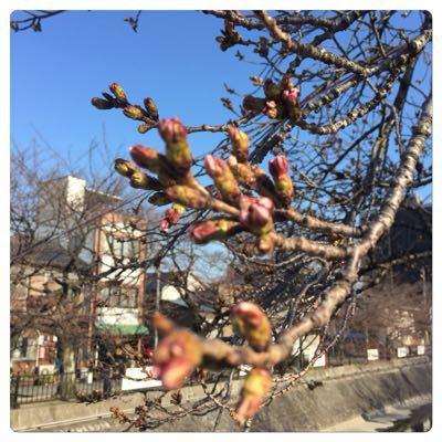 桜のつぼみ_c0170233_7303342.jpg