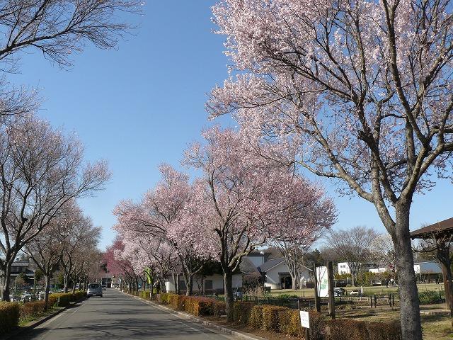 早咲きの桜(さくら)・・・「コヒガン」 一種_d0019074_164107.jpg