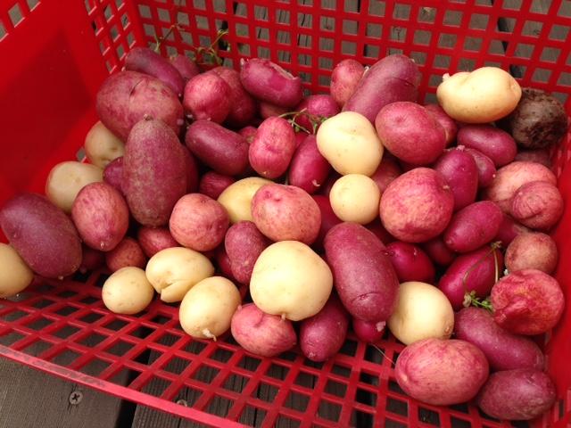 ジャガイモ収穫_a0326106_8365055.jpg