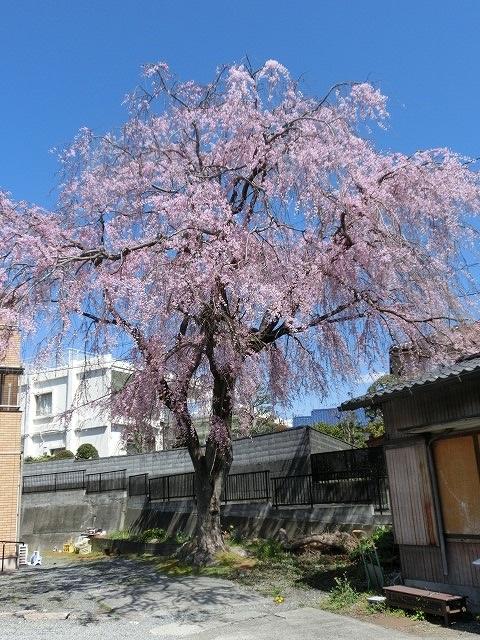 立派な枝垂れ桜と県議選のポスター看板_f0141310_7362641.jpg