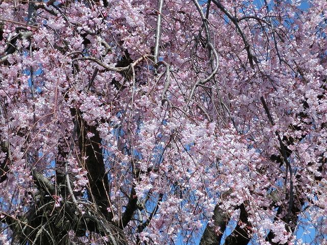 立派な枝垂れ桜と県議選のポスター看板_f0141310_736381.jpg